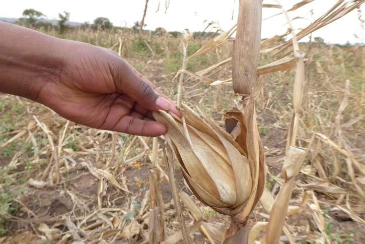 Aufgrund der Trockenheit sind die Maiskolben klein, die Körner nicht voll ausgebildet.